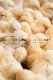 Bunch of chicks