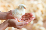 Holding a chick in hand