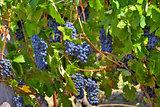 Ripe grapes. Piedmont, Italy.
