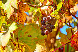 Grape among autumnal leaves in Italy.