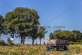 Cart with pumpkins in the field