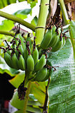 GREEN BANANA GROVE
