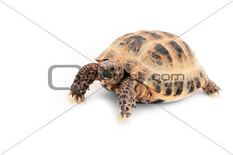 Asian (Russian) tortoise on white