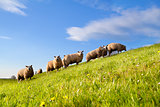 sheep herd on green sunny pasture