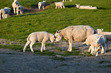 baby and mother sheep love