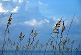 Ocean Reeds