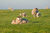 Spring lambs and sheep in rural landscape at sunrise