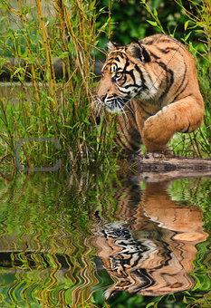 Portrait of Sumatran Tiger Panthera Tigris Sumatrae big cat refl