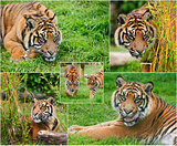 Compilation of images of Sumat5ran Tiger Panthera Tigris Sumatra