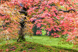 Fall Foliage of Japanese Maple Tree