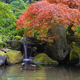 Red Maple Tree Over Waterfall Pond