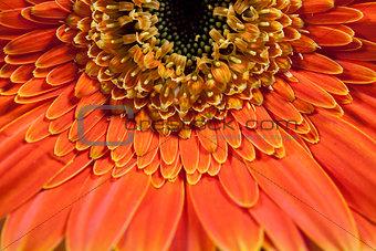 Close up of orange gerber daisy
