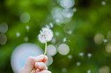 Hand with blown dandelion