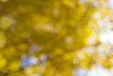 Yellow Fall Foliage Blurred Background