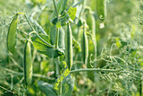 pea field with pods