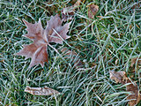 Maple leaf in morning frost