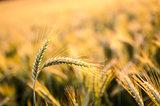 Wheat ears in summer