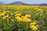 Vernal meadow full of nice yellow dandelions