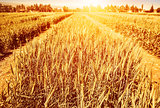 Wheat field in autumn