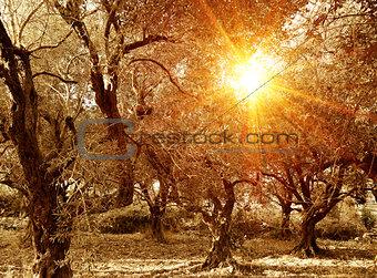 Olive trees garden in autumn