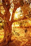 Olive tree in autumnal garden