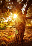 Sun beam through olive tree branch