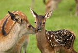 Young Fallow Deer and mother