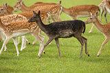 Black Fallow Deer in herd