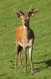 Young male Red Deer