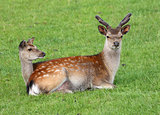 Male and female Fallow Deer