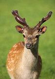 Young male Fallow Deer