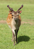 Young male Fallow Deer