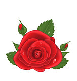 Close-up red rose isolated on white background