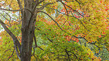 maple tree lush with colorful leaves