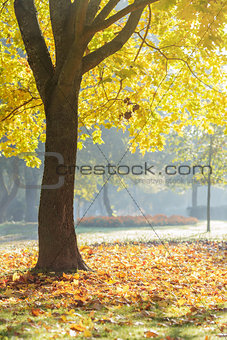 autumn morning in park with maple trees