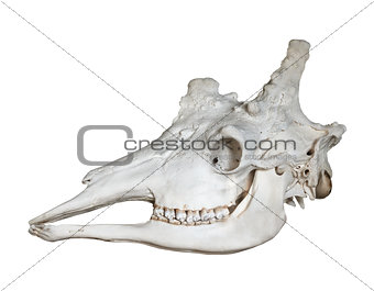 Skull of giraffe isolated on white