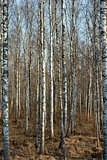 Trunks of birch trees and roots in Autumn