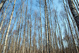 Trunks of birch trees and blue sky in Autumn