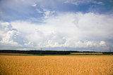 Summer landscape with a field of wheat and sky