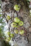 Cluster fig plant