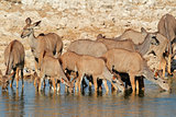 Kudu antelopes drinking