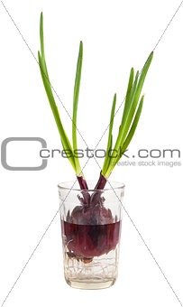 Green onion growing in a glass with water