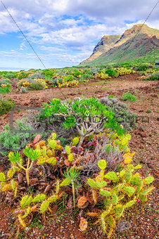 Cactuses on north-west coast of Tenerife, Canarian Islands