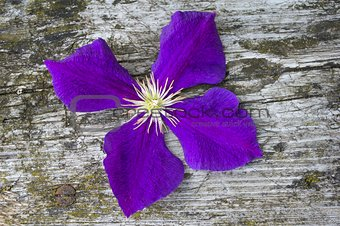 Blossom of clematis