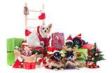 christmas chihuahuas