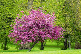 Blossoming pink tree