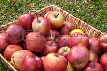 Wicker basket with red apples