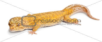 Aptor Leopard gecko, Eublepharis macularius, in front of white background