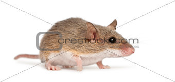 African Pygmy Mouse - Mus minutoides, the smallest of all rodent