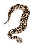 Gaboon viper - Bitis gabonica, poisonous, white background